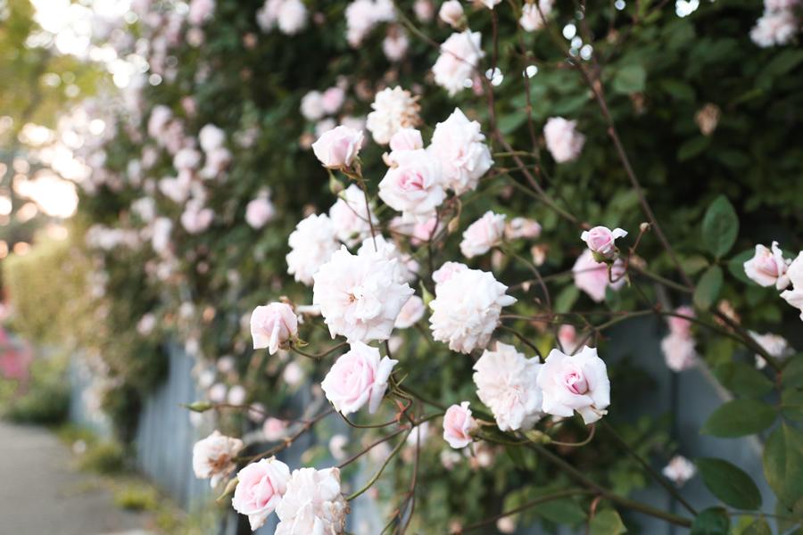 gardenofroses6